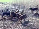 Selçuk'ta Domuz Avı