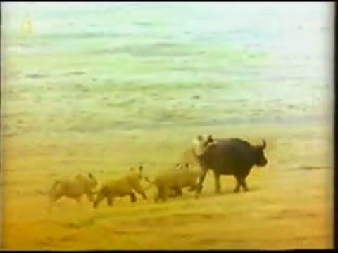 Aslanların Avlanması