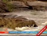 Timsah Avını Böyle Parçalıyor online video izle