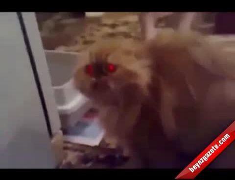Konuşan Kedi Rekor Kırıyor