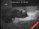 Londra Hayvanat Bahçesi'ndeki Bir Sumatra Kaplanının Doğum Anı
