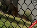 Hayvanat Bahçesinde Korku Dolu Anlar (Aslan Kavgası)  online video izle