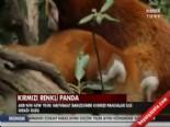 İşte Kırmızı Renkli Panda