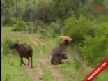 Bufalo Aslan Kavgasında Yaşananlar Şaşırttı  online video izle