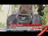 Dişi goril görünce...