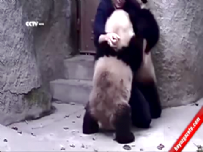 Veterinerin panda ile imtihanı