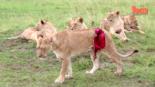 Gövdesi Parçalanmış Aslan Görevliler Tarafından Tedavi Ediliyor online video izle