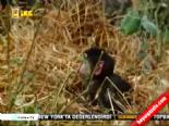 Leopar Öldürdüğü Maymunun Yavrusunu Görünce Bakın Ne Yaptı  online video izle