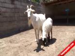 Bu Keçi Hem Köpeğe Hem De Kuzuya Annelik Yapıyor  online video izle