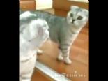 Kendini Aynada Gören Kedinin Şaşkınlığı  online video izle