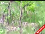 Saldırgan Ayı Böyle Öldürüldü  online video izle