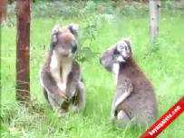 Tembel Koalaların Sevimli Kavgası