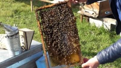 Arı kenesi ile mücadele 40 bin kovan ilaçlanacak