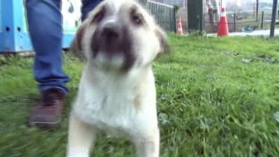 Şanslı köpeği 700 kilometre götürüp sağlığına kavuşturdular İzle